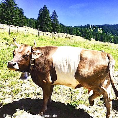 Leben wie Gott in Frankreich: Kuh im Allgäu müsste man sein. Den ganzen Tag bei Sonnenschein auf der grünen Weide