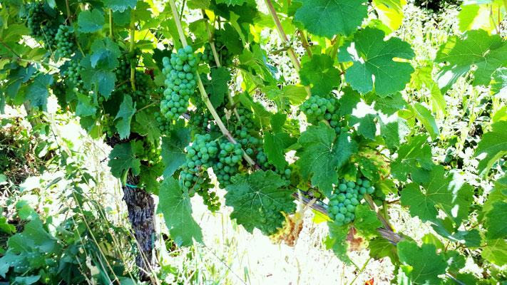 Nahaufnahme Traubenzone eines Weinbergs auf Camp (Briedel)