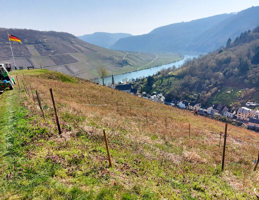Weinberg mit historischen Rebsorten in Briedel mit Sicht auf das Dorf und die Mosel