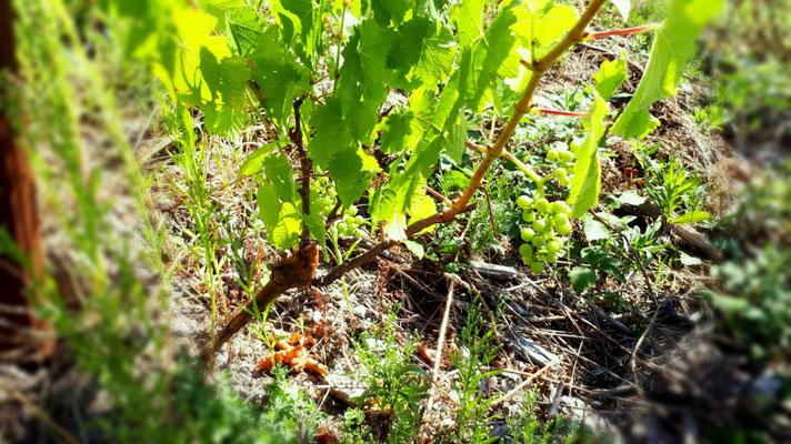 Erste Trauben bei neugesetzten Reben der historischen Rebsorte Fränkischer Burgunder