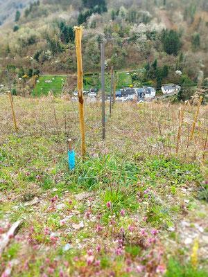 Zinkfreie Edelrost-Pfähle im neuen Weinberg vom Weingut Karl-Otto Binninger