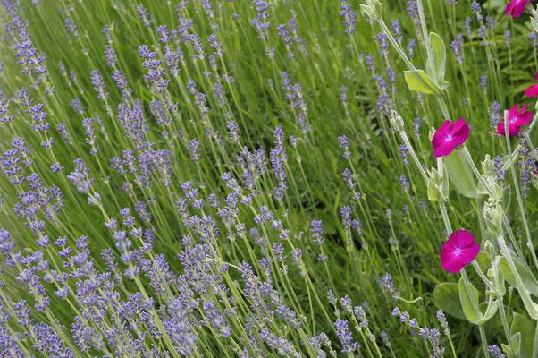 Lavendel mit Lichtnelke