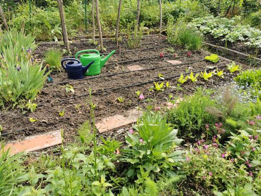 Pflücksalat im Gemüsebeet vor Bohnenstangen