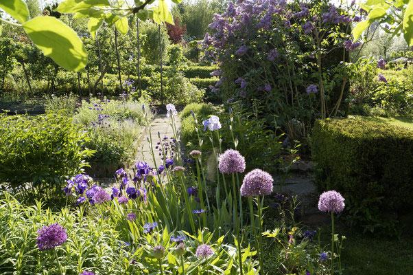Gartenblick mit Zierlauch, Iris und Flieder
