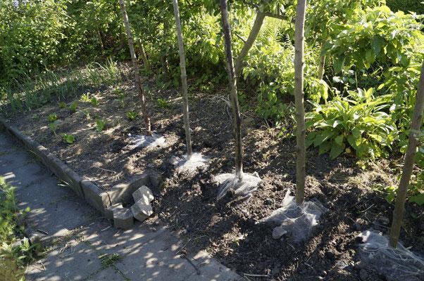 Bohnenstangen, unten Netze zum Schutz vor Bohnenfliege