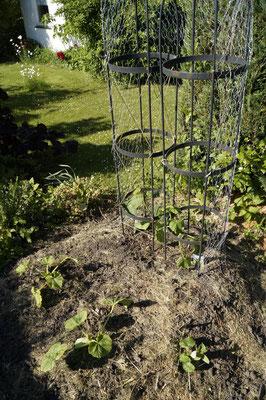 Hütelbeet, Zuchini und Gurkenpflanzen