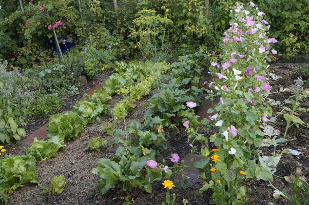 Salat, Rote Beete, Bechermalven