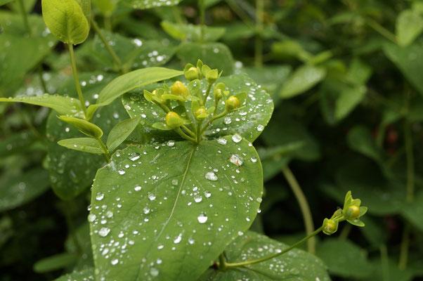 Johanniskraut im Regen