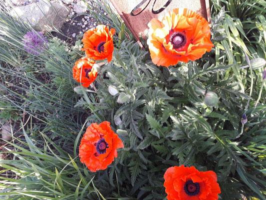 Mohn | Garten- und Landschaftsbau Garber