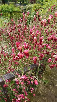 Ginster | Garten- und Landschaftsbau Garber