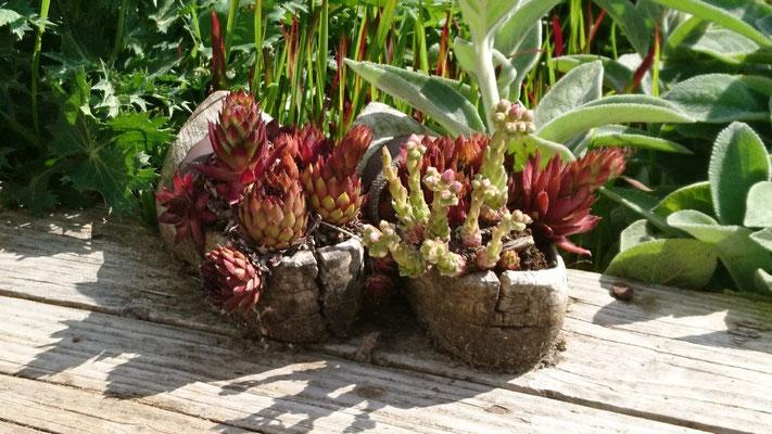 Sedum im Schuh | Garten- und Landschaftsbau Garber