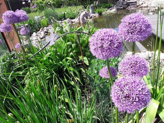 Zierlauch setzt Akzente | Garten- und Landschaftsbau Garber