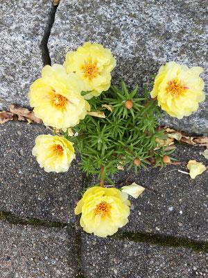 Mittagsblume in Steinfluge | Garten- und Landschaftsbau Garber