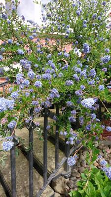 Säckelblume | Garten- und Landschaftsbau Garber