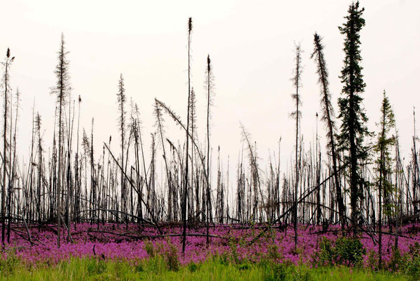 Burned forest with nice flowers along 50 km