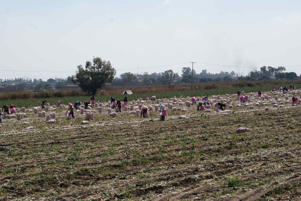 Workers on the onions field..