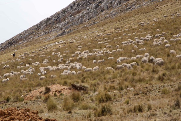 Sheep on the high plateau of Junin.