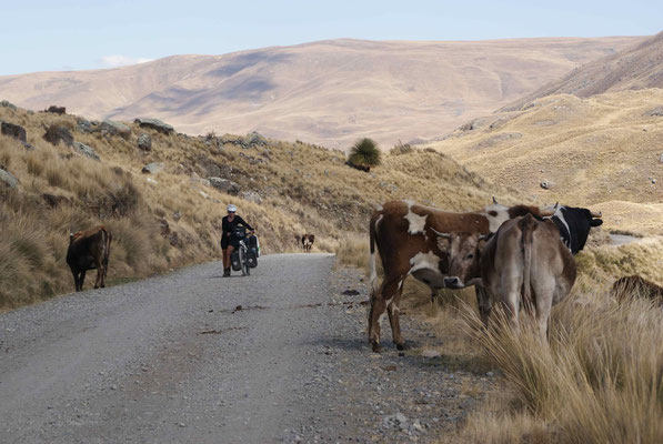 Pushing the bike through a herd of cows.