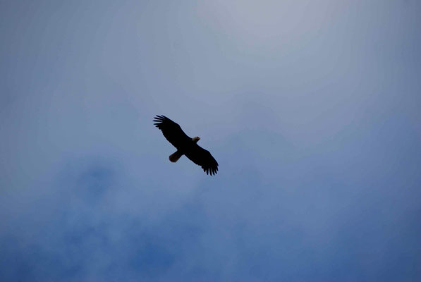 Eagle at Lakelse Lake