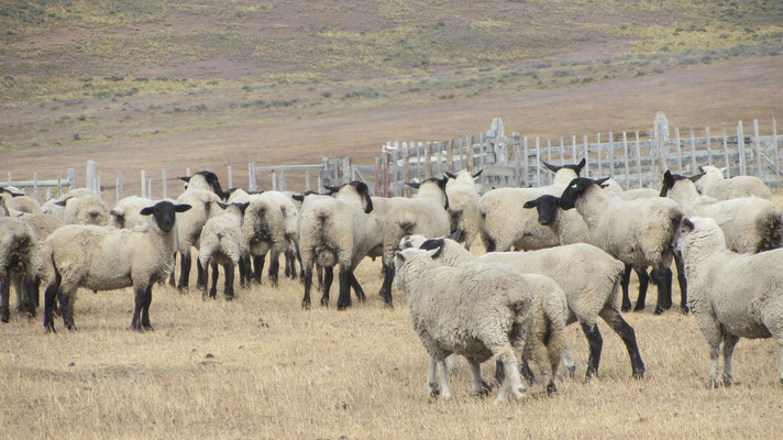 Like all over in Patagonia, there are more sheeps than people.