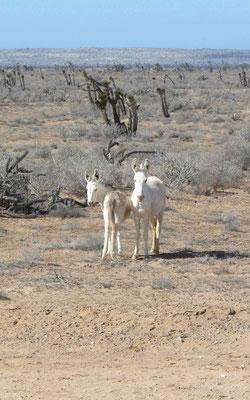 Two mules we saw a few km before Villa Jesus Maria