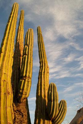Sam's favorit Cactus