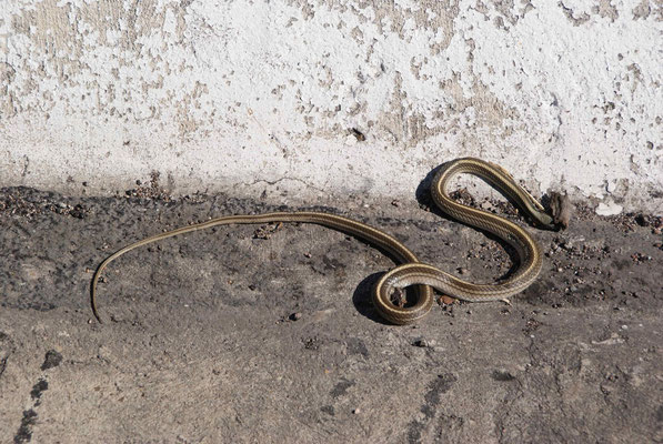 A dead snake on the road