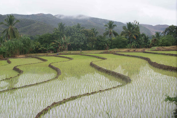 Paddy field (rice).