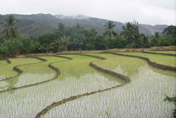 Paddy field (rice).