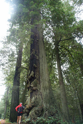 big, fat Redwood