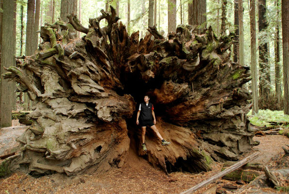 huge Redwood on the ground