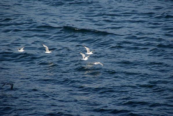 Birds fallow the ferry.