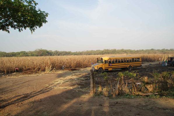 Field of sugarcanes.