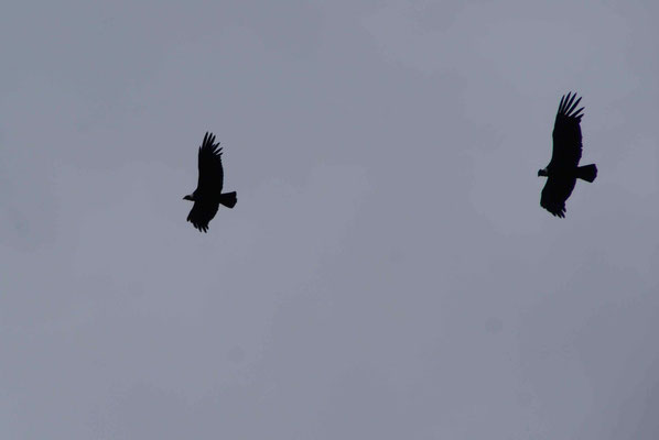 The andean condors.