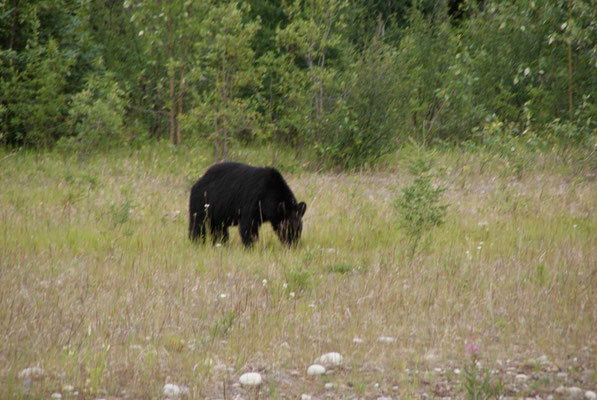 The first black bear on the road