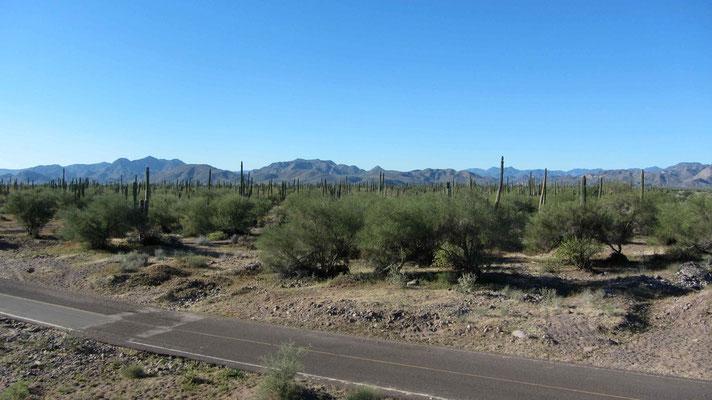 Cactus along the road to Loreto