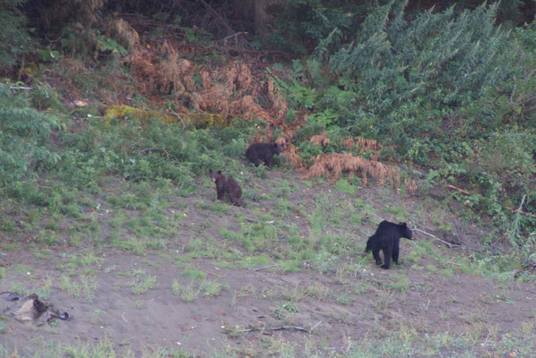 Mama-Bear and 2 cubs in the Humboldt Redwoods State Park