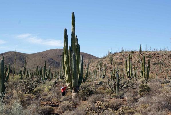 Big cactus.