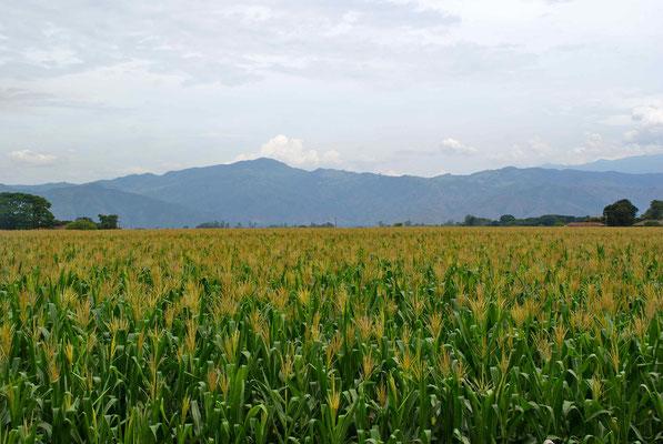 Mais and suger canes along the Valle de Cauca.
