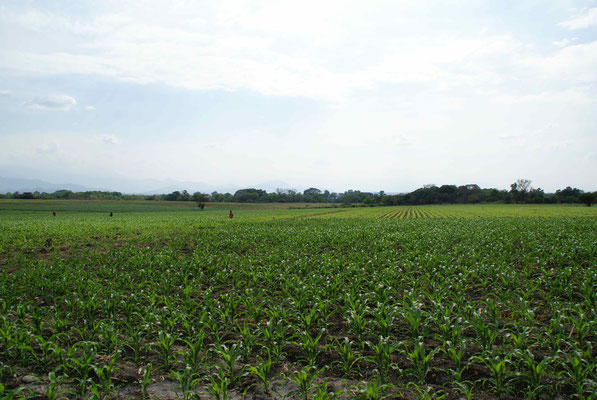 Mais field.
