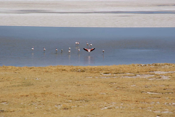 Flamingos at Salar de Surire