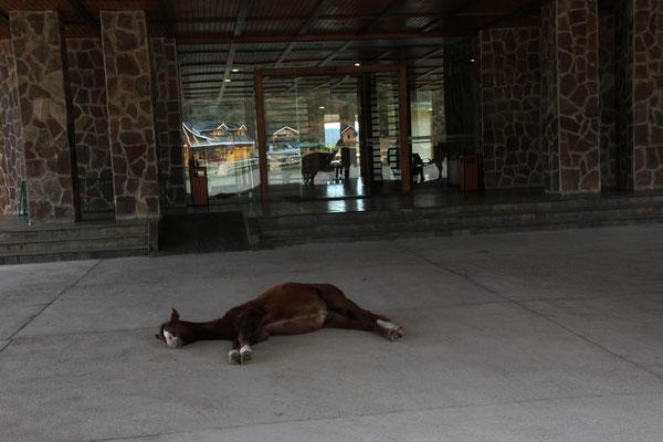 Müde vom Ausritt mit den Touristen. Leider sind alle Zimmer im Hotel besetzt...
