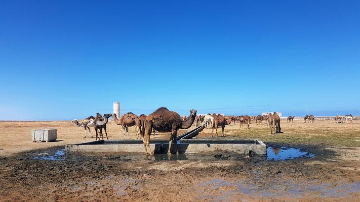 Mitten in der Wüste. Ein Wasserbrunnen für die Dromedare.