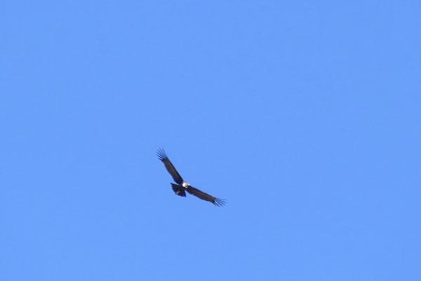 Ein Condor kommt selten allein...