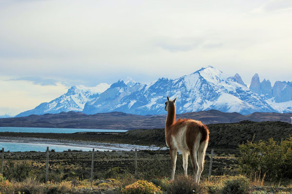 Guanakos (Lamas in Chile) vor den Torres Türmen.