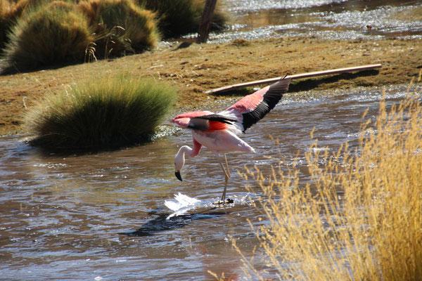 Flamingos bei der Laguna Chaxa