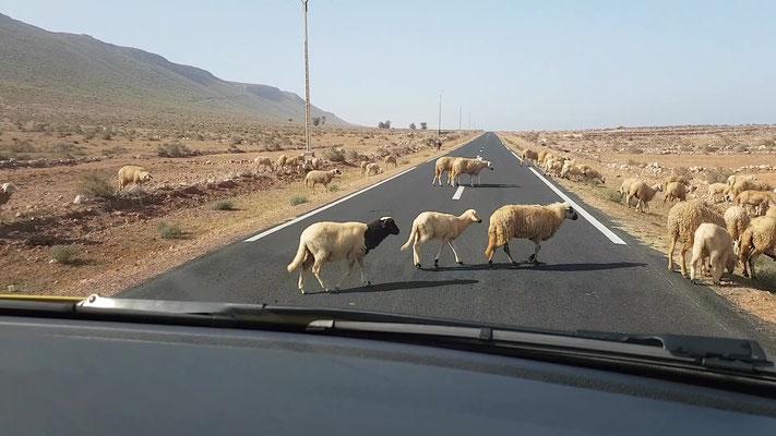 Schafe, wohin man schaut...
