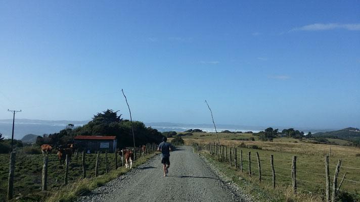 Kuhjagd auf Chiloé