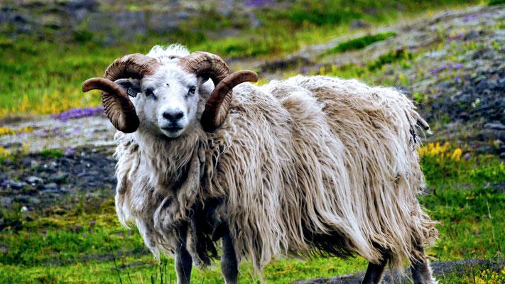 Addicted to sheeps. Wir werden sie vermissen
