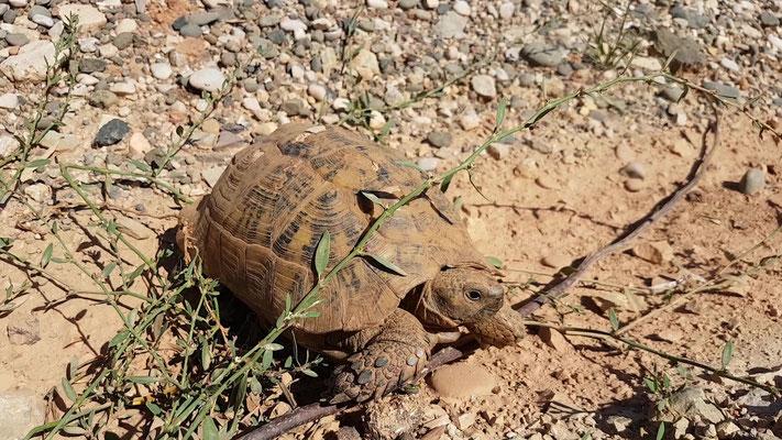 Diese Schildkröte haben wir vor dem sicheren Tod gerettet. Sie befand sich mitten auf der Strasse als ein Lastwagen heran brauste.